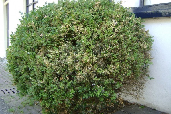 Buxus (Medium)