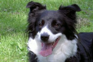 bordercollie-medium